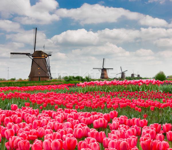 голландский весны день тюльпаны Голландии Сток-фото © neirfy