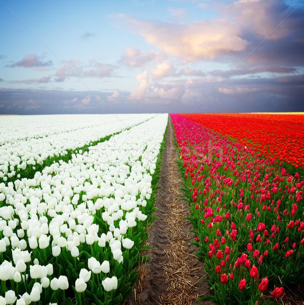Nederlands Rood tulp velden witte veld Stockfoto © neirfy
