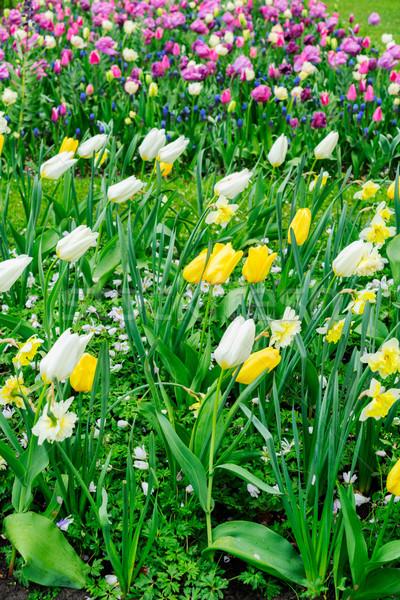 水仙 チューリップ 花 春 日 ストックフォト © neirfy