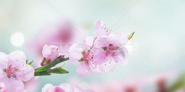 Pink cherry blossom Stock photo © neirfy