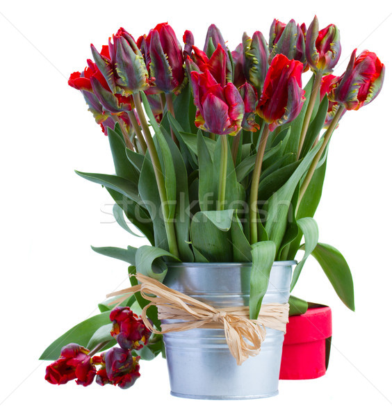 spring tulip flowers in pot with gift box Stock photo © neirfy