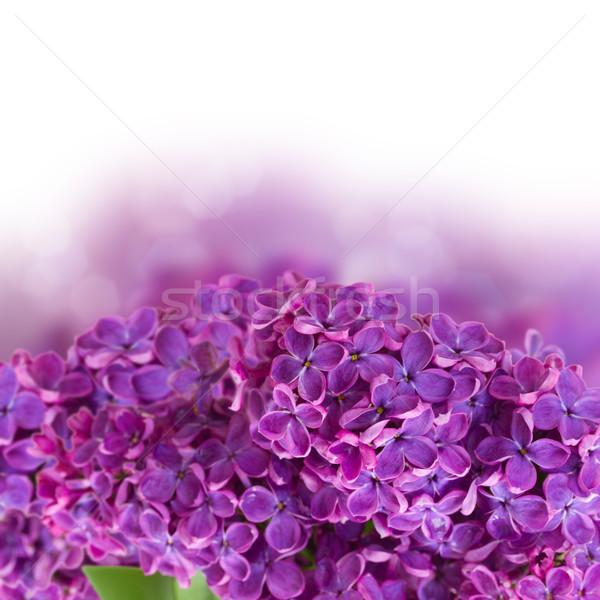 Stok fotoğraf: çalı · çiçekler · yalıtılmış · beyaz