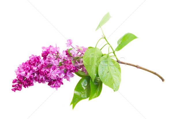 Brunch of Lilac flowers Stock photo © neirfy