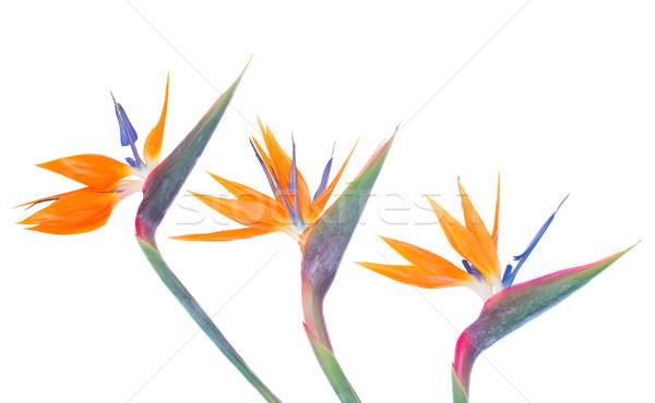 Bird of paradize flowers border Stock photo © neirfy