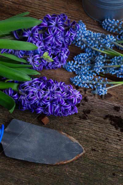 Foto stock: Jacinto · pá · azul · flores · escuro