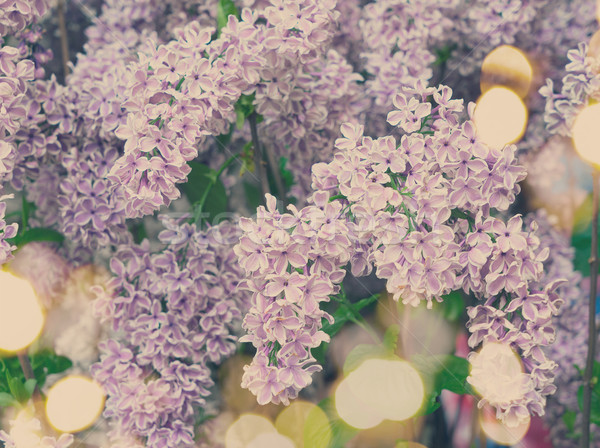 árvore violeta flores folhas verdes Foto stock © neirfy