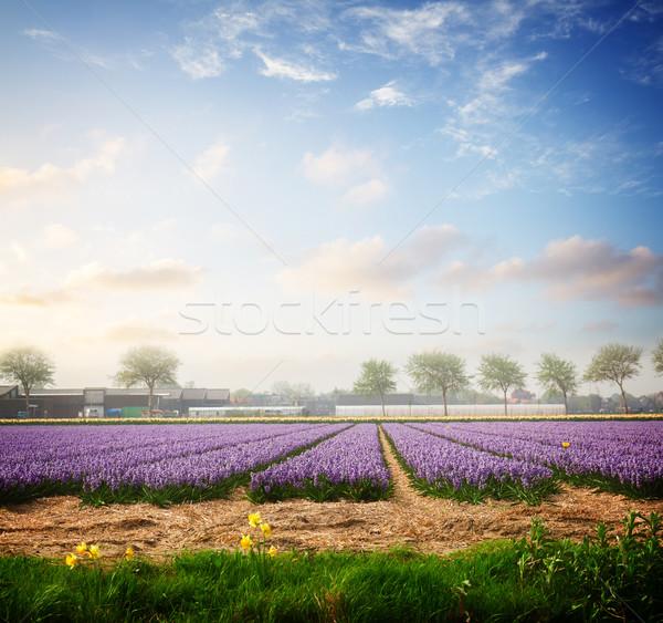 голландский весны гиацинт цветы области синий Сток-фото © neirfy