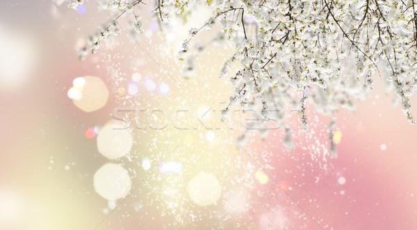 Foto d'archivio: Fioritura · magnolia · albero · bianco · fiori · giardino