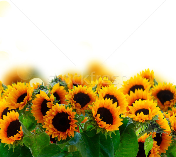Stock photo: Dahlia and sunflowers