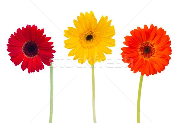 three  daisy herbera flowers Stock photo © neirfy