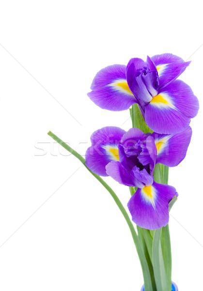 Сток-фото: два · синий · цветы · изолированный · белый · цветок