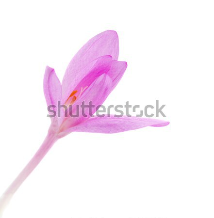 one meadow saffron close up Stock photo © neirfy