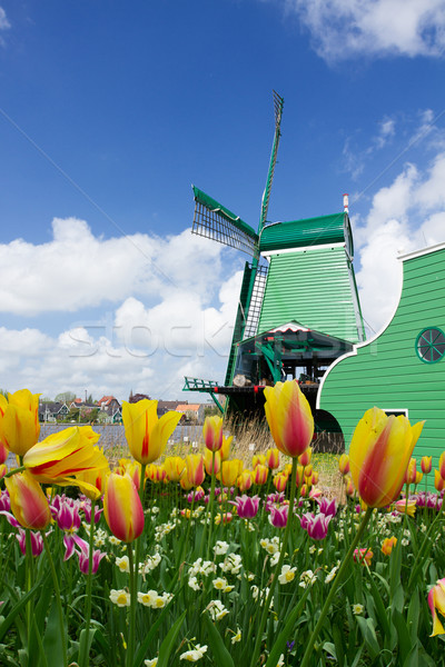 Holland windmolen nederlands oude tulpen voorjaar Stockfoto © neirfy