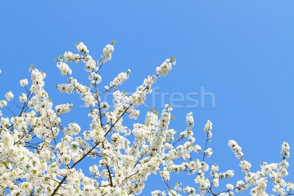 Blooming apple tree Stock photo © neirfy