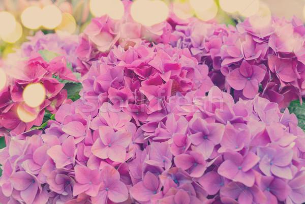 Violet hortensia flowers Stock photo © neirfy
