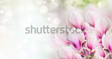 pink  magnolia tree flowers Stock photo © neirfy
