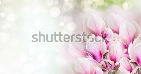 Różowy magnolia drzewo kwiaty świeże bokeh Zdjęcia stock © neirfy