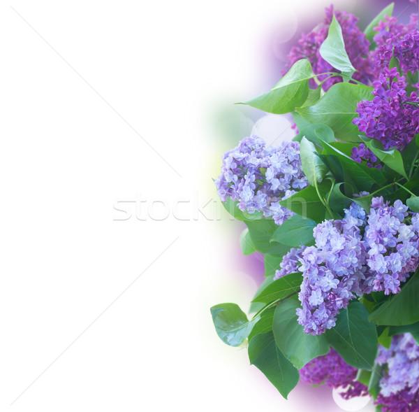 新鮮な ライラック 花 緑の葉 国境 ストックフォト © neirfy