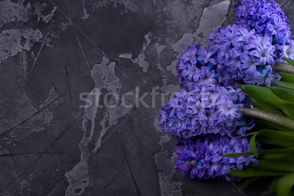 Jacinto fresco flores escuro cinza Foto stock © neirfy