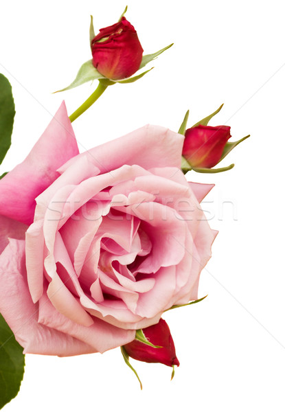 pink  rose with buds Stock photo © neirfy
