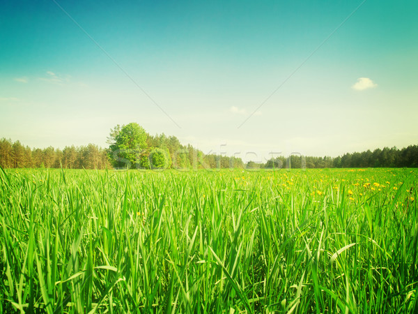 Sumer filed with green grass Stock photo © neirfy