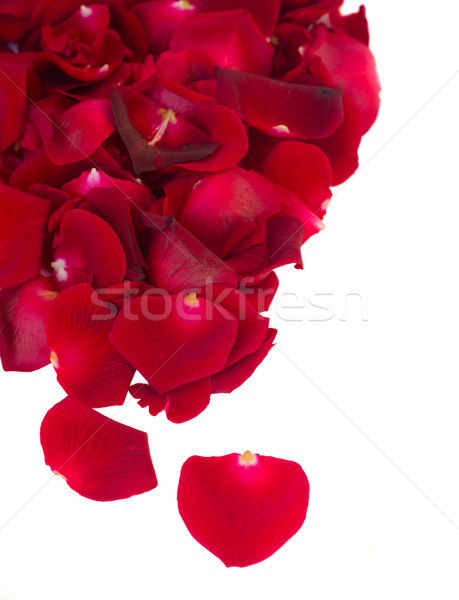 Grenze frischen hochrot rot Garten Rosen Stock foto © neirfy