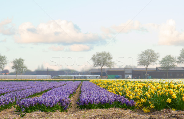 Holland tavasz jácint virágok mező kék Stock fotó © neirfy