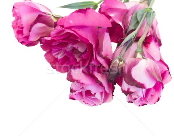 Leylak rengi çiçekler yalıtılmış beyaz Stok fotoğraf © neirfy