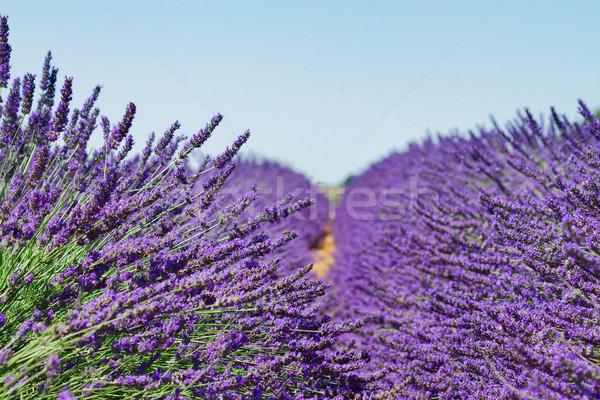 ラベンダー畑 夏 新鮮な 青空 フランス ストックフォト © neirfy