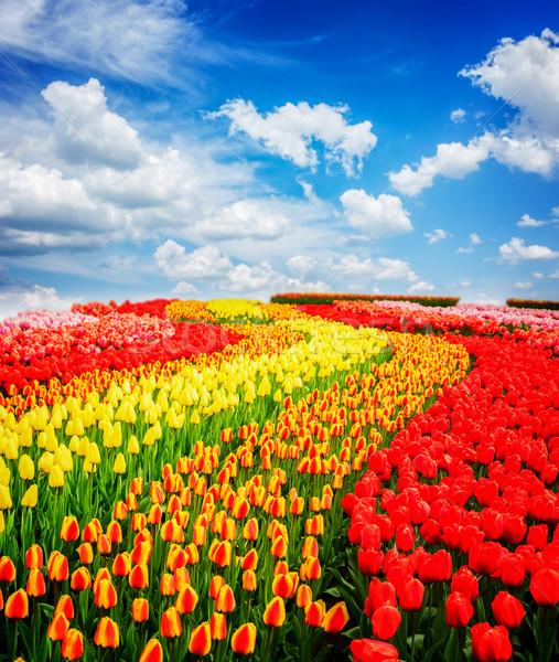 ストックフォト: チューリップ · 花 · 赤 · オレンジ · 黄色