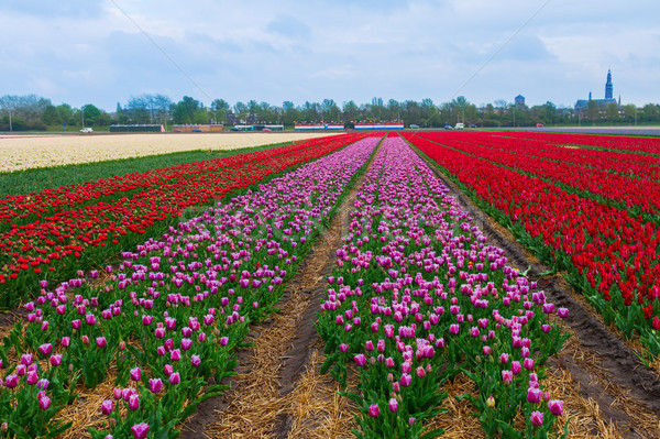 Nederlands tulpen roze Rood Stockfoto © neirfy