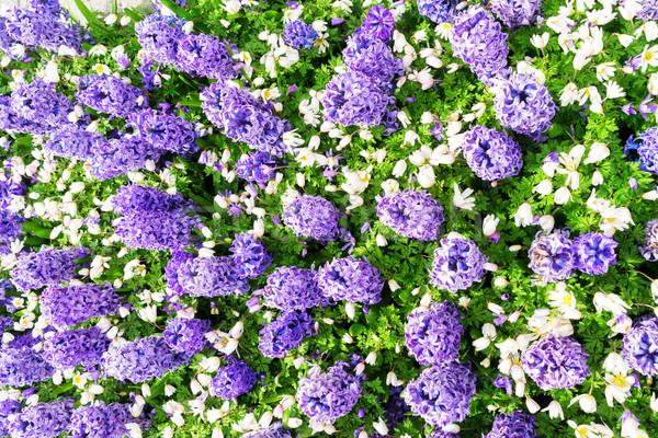 Blauw hyacint nederlands park Nederland Stockfoto © neirfy