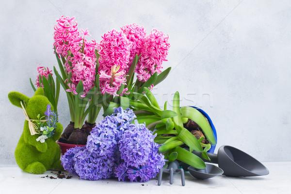 Foto stock: Jardinagem · jacinto · fresco · flores · rosa · azul