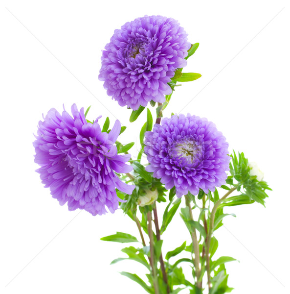tree aster violet  flowers Stock photo © neirfy