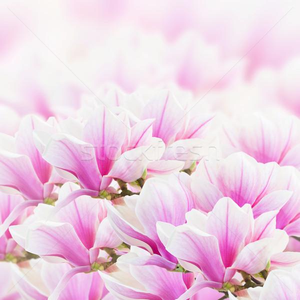 розовый магнолия цветы свежие Сток-фото © neirfy