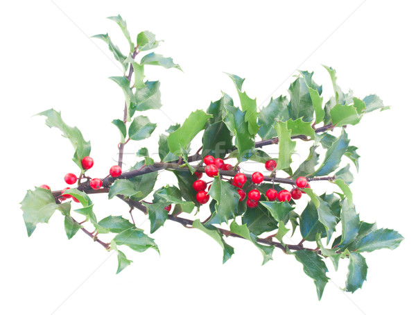 Holly branches with leaves and berries Stock photo © neirfy
