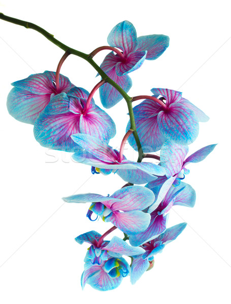 stem of blue orchids Stock photo © neirfy