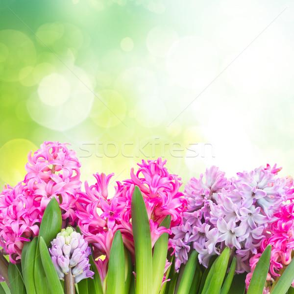 Rosa violeta verde jardim primavera beleza Foto stock © neirfy