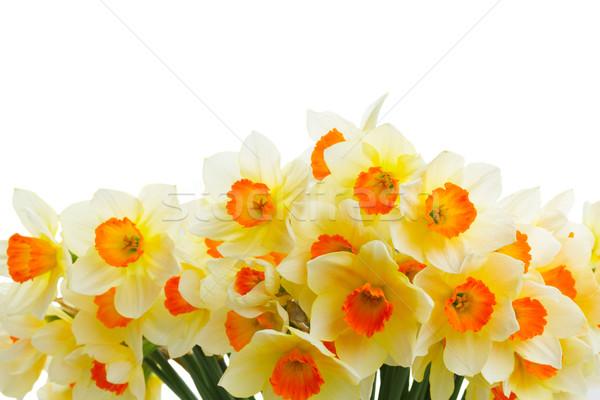 Vers voorjaar narcissen oranje Geel grens Stockfoto © neirfy