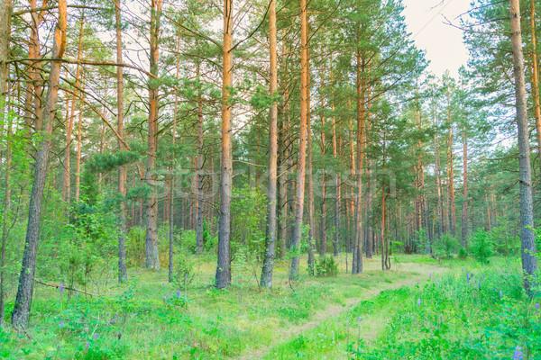 Nyár fenyőfa erdő zöld naplemente napfény Stock fotó © neirfy