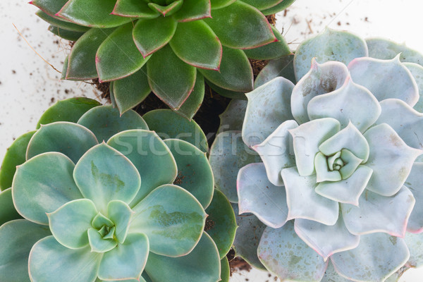 Succuletn growing plants Stock photo © neirfy