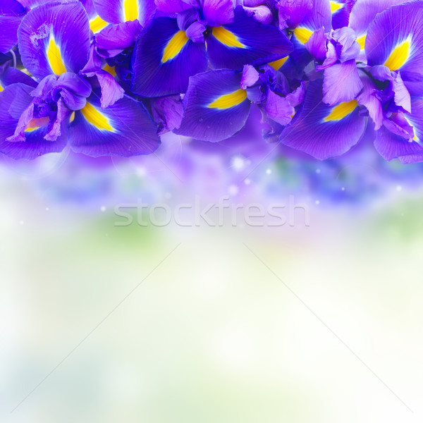 Blue iris flowers Stock photo © neirfy