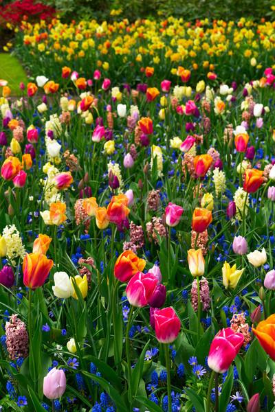 Formale primavera giardino colorato tulipani giacinto Foto d'archivio © neirfy