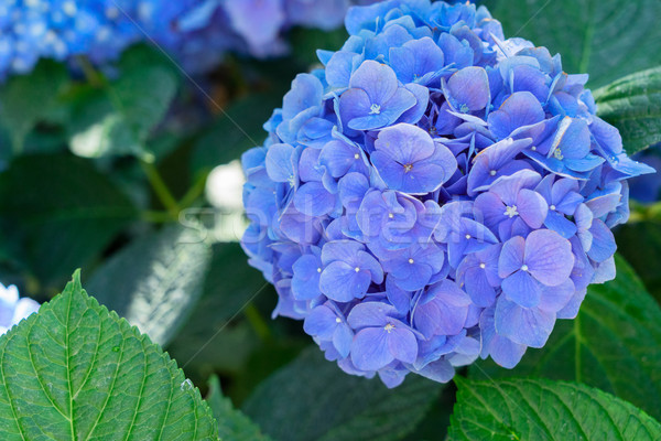blue and violet hortensia flowers Stock photo © neirfy