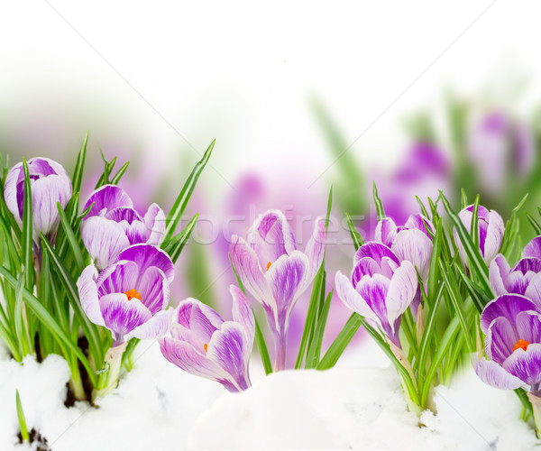 spring crocuses close up Stock photo © neirfy