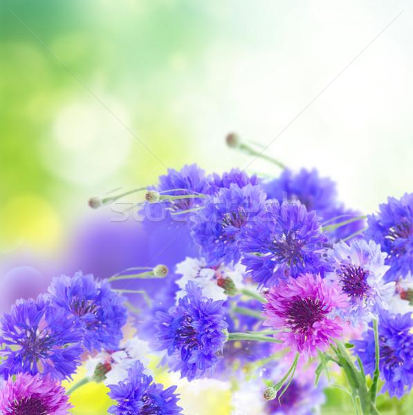 Niebieski różowy zielone ogród kwiaty kukurydza Zdjęcia stock © neirfy