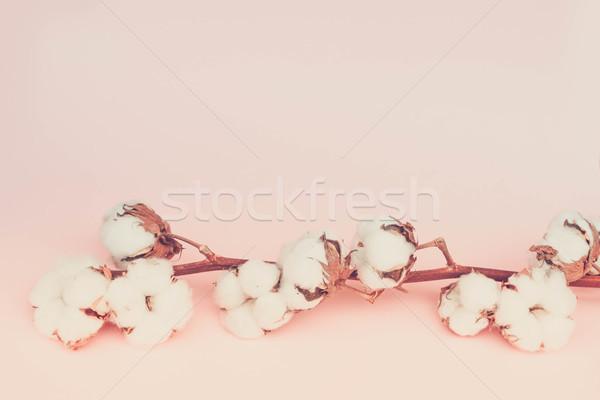 Raw cotton branch Stock photo © neirfy