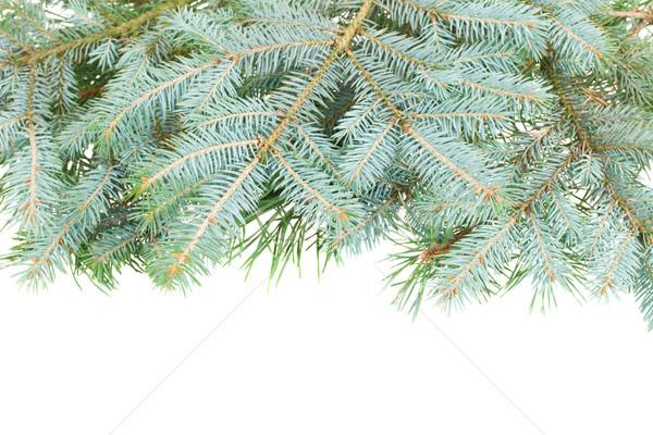 blue  fir tree border Stock photo © neirfy