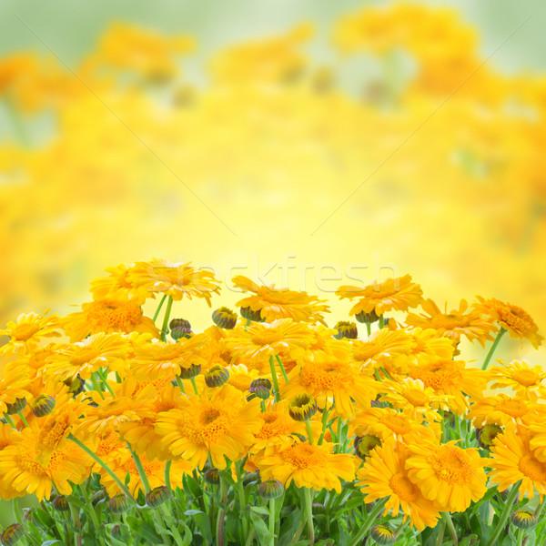 Zdjęcia stock: Kwiaty · żółty · rozwój · lata · ogród · kwiat