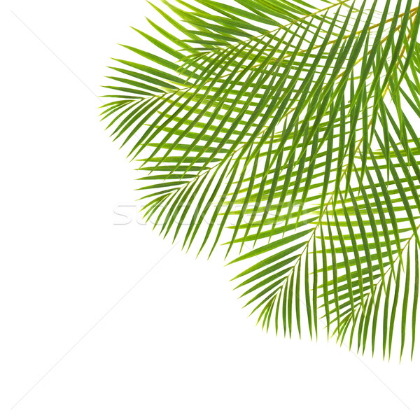 palm leaves Stock photo © neirfy